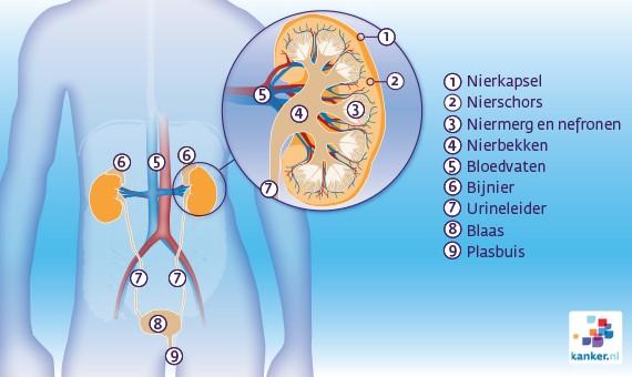 nieren urinewegen